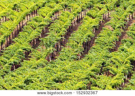 Grape vines at a Napa California vineyard
