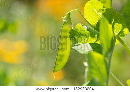 Baby Garden Pea