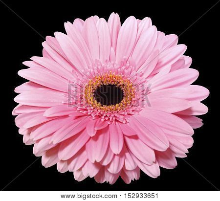 pink gerbera flower black isolated background with clipping path. Nature. Closeup. no shadows. yellow center.