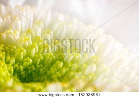 Background From Stamens Of White Chrysanthemums Closeup