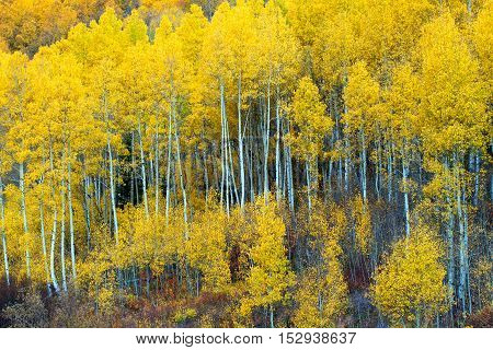 Yellow leaves bursting with color from the Aspen grove along the mountain side in Colorado