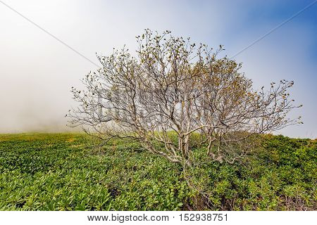 Lonely tree in the mountains at foggy morning time between rhododendron bushes. Caucasus. Russia.
