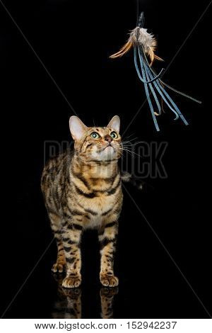 Portrait of beautiful bengal cat staring at toy. Studio shot over black background. Copy space.
