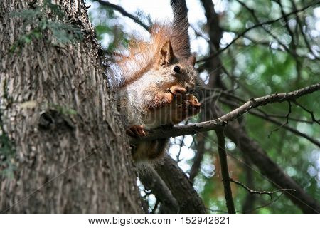 Squirrel in the Park is eating nut Voronezh, Russia