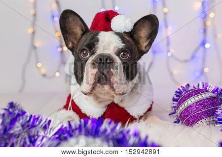 French bulldog in santa costume for Christmas