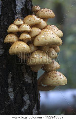 Pholiota aurivella mushroom on a birch tree