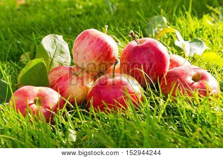 Harvest of juicy red apples in the grass background in rustic style