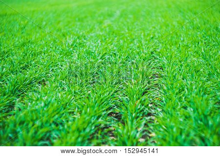 A Green Field Of Grass In Drops Of Dew