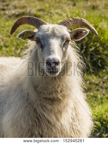 Sheep with horns and earmark on Iceland.