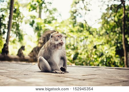 Close-up Portrait Of Long Tail Monkey In Natural Habitat.