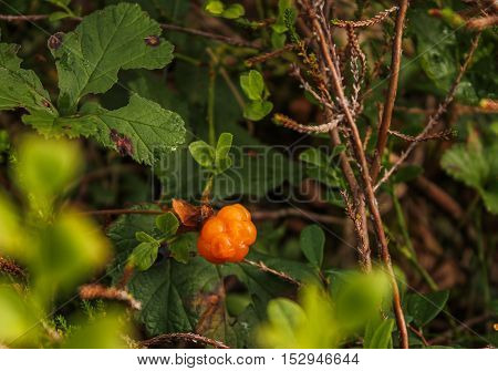 Cloudberry in forest. Close-up of cloudberry, also known as the