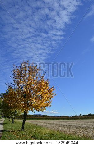 An autumnal tree in late October in the north east Italian region of Friuli Venezia Giulia. A havested cornfield can be seen on the right.