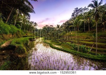 Beautiful Reflection Of Sunset Colors In Rice Terrace Valley In Ubud Village, Bali, Indonesia. Agric