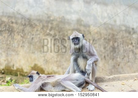African baboon playing with each other with love