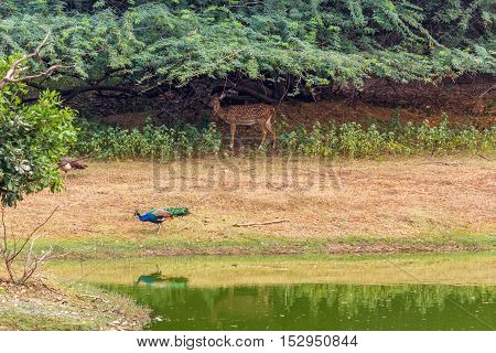 Deer and peacock standing near the pond and peacock's reflection falls on pond