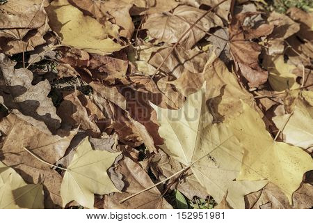 dried yellow autumn leaves as a background