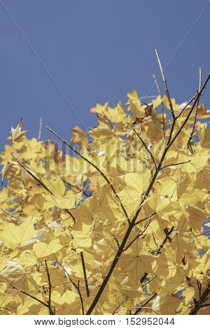 yellow autumn leaves on tree against blue sky with copy space