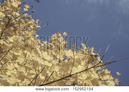yellow autumn leafes on tree against blue sky with copy space