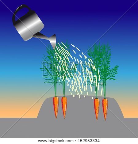 watering the carrots growing in the garden