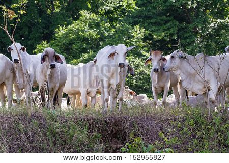 Tropical White Happy Cows