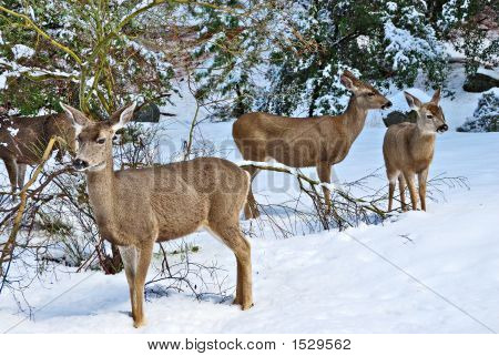 Mule Deer Standing In The Snow