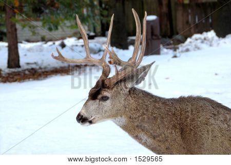 10 Point Buck Deer