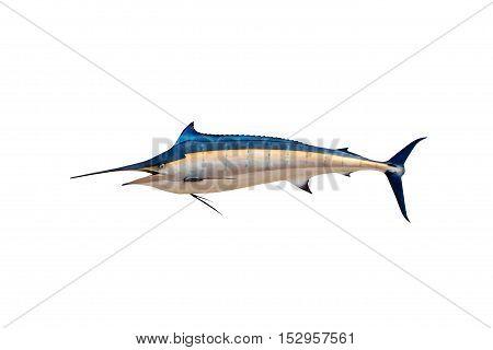 Marlin - Swordfish Sailfish saltwater fish (Istiophorus) isolated on white background