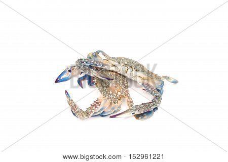 Blue crab isolated on white background .