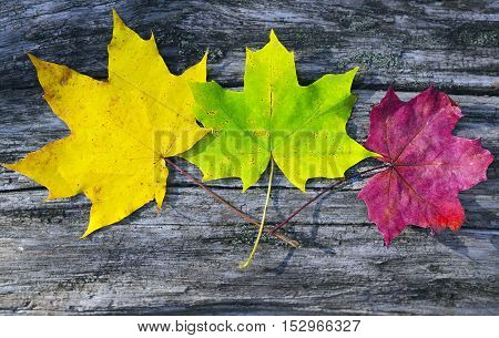 Colorful maple leaves on old wooden background.Red,yellow and green autumn leaves.Fall season,autumn,nature cycle concept.