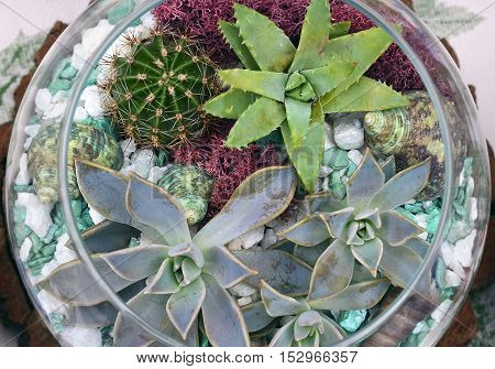 Decorative glass vase with succulent and cactus plants. Glass interior terrarium with succulents and cactuses.Miniature garden in glass with cactuses and succulents.Top view.