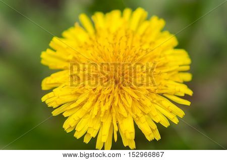 Dandelion close up. Yellow flower close up. Yellow flower. Summer flowers. Yellow flower on a green background.