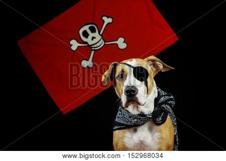 Dog dressed up as pirate for halloween posing in front of black background and red pirate flag