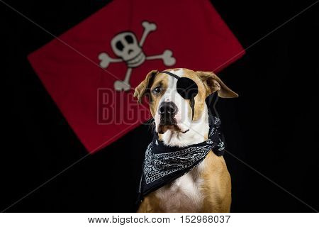 Dog dressed up for halloween as pirate posing in front of black background and red pirate flag.