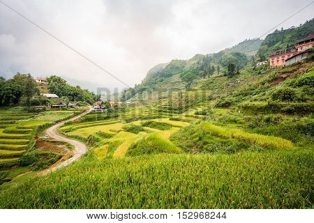 Green rice terrace in rural of Cat Cat village in Sa Pa Vietnam. The background is foggy mountain with overcast sky all day.