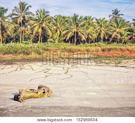 Tropical beach at sunset with palm trees climbing plant and log on wet sand South Goa India