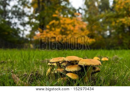 Group of many mushrooms surrounded by green fresh grass, in background many tones of yellow and orange appearing to define autumn.