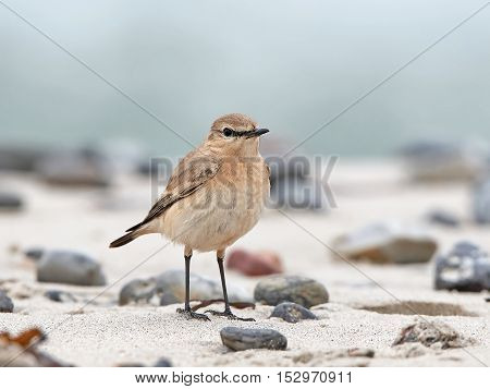 Isabelline wheatear (Oenanthe isabellina) standing in sand in its natural habitat