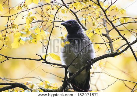funny grey bird crows sitting on a tree branch in autumn Park