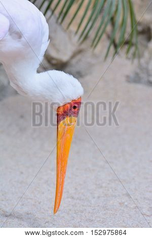 A Mycteria ibis Tantalum African on wildlife.