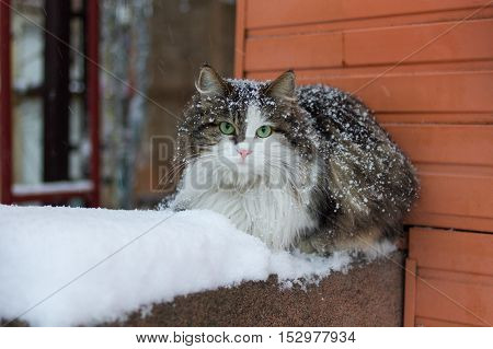 Cat with green eyes on snow. Cat on snow. Cat with green eyes.