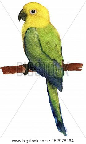 watercolor sketch of parrot lovebird on white background