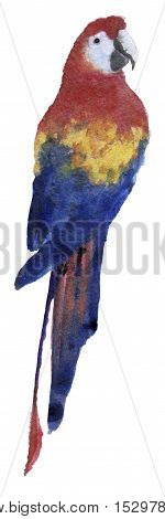 watercolor sketch of Ara parrot on white background