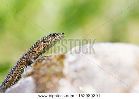 Iberican lizard close up on the rock