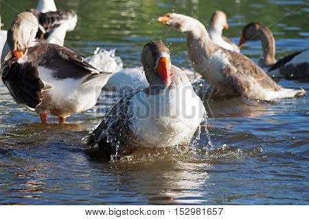 Grey domestic geese bathe in the river