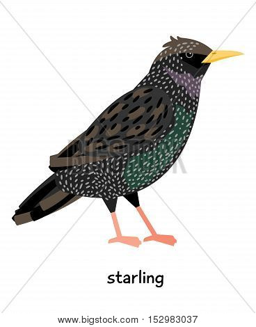 Serious starling with dark feathers vector illustration