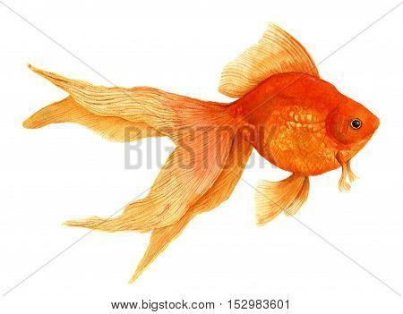 Goldfish. Watercolor artistic realistic illustration. Red fish