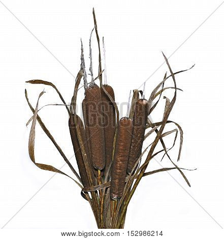Bouquet of plants reeds isolated on white background