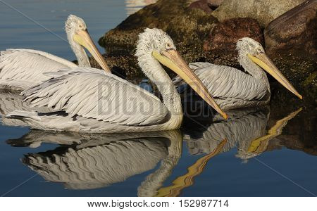 White Pelican with reflection swimming on sea.