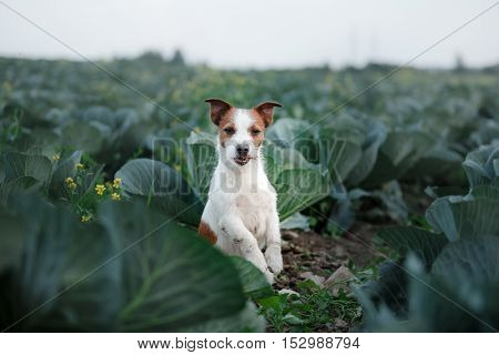 Dog Jack Russell Terrier in cabbage field