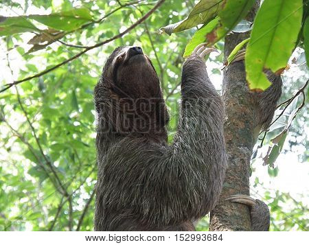 Sloth in the Costa Rica rainforest climbing a tree.